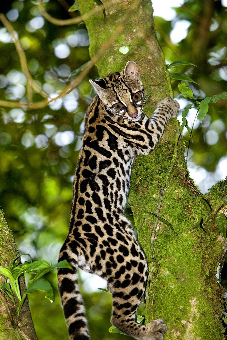 Margay - Jungle Cat in Costa Rica