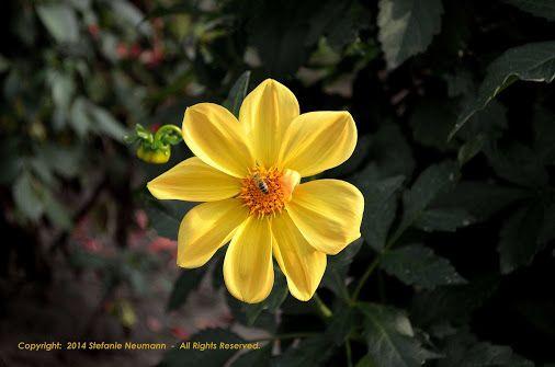 Yello with Bee © Stefanie Neumann  -  A bee on a sun in the sun.  |  #DahliaGardenHamburg #Dahlias #KBFPhotography