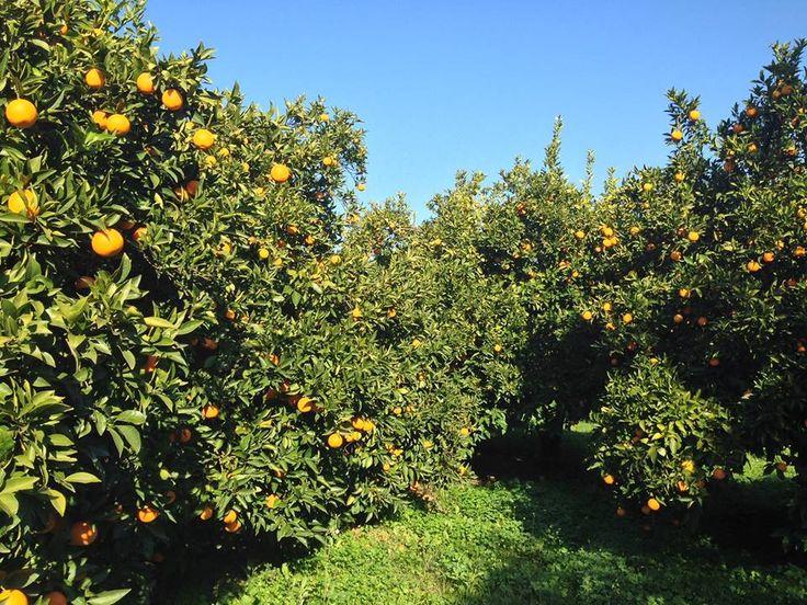 Πορτοκαλεώνας στο Γούναρι | Laconialive.gr - Η ενημερωτική ιστοσελίδα της Λακωνίας, Νέα και ειδήσεις