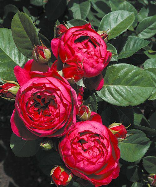 Růže ´Ascot´ - voňavá. Rosa. Husté, plné, kulovité květy v zajímavé fialovo-purpurové barvě. Silně voňavé. Výška:asi 70 cm.