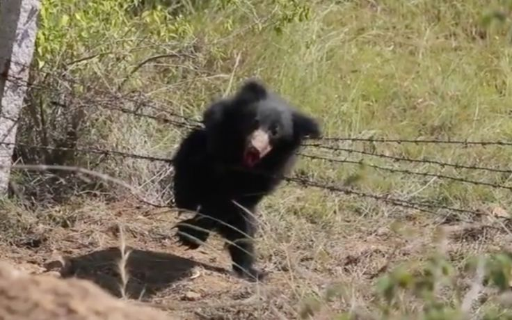 The Wildlife SOS and Forest Department recently found a sloth bear entangled in a barbed wire fence just outside the village of Vittalapura, India – and thank goodness they did!