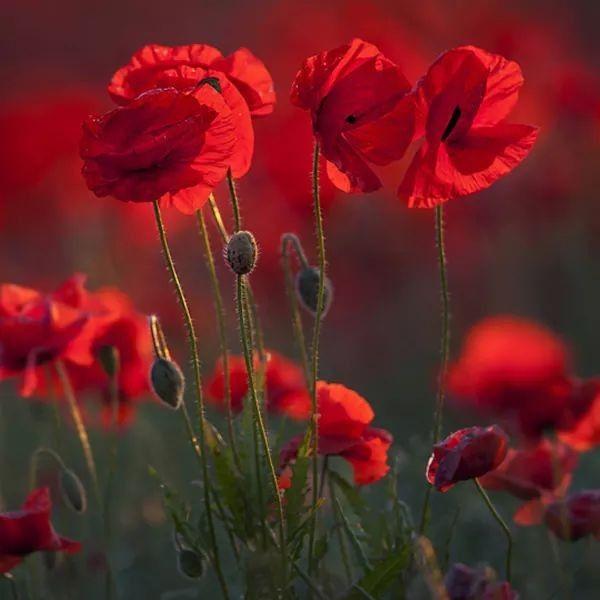 Pin Von Barbara Rathmanner Auf Mohnblumen Mit Bildern Blumen Fotografie Schone Blumen Fotos Blumen