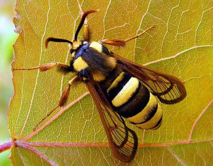 Hornet Moth. Aussi appelé « Hornet Clearwing », ce papillon a la particularité d'imiter le frelon. Malgré son incroyable ressemblance, il reste totalement inoffensif. Il possède la même envergure et le même vol, plutôt saccadé. papillons tout aussi étranges que fascinants qui vont vous émerveiller