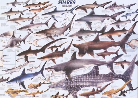 An amazing poster of various species of Sharks from around the world! Perfect for sport fishermen and fans of Shark Week. Fully licensed. Ships fast. 26x37 inch