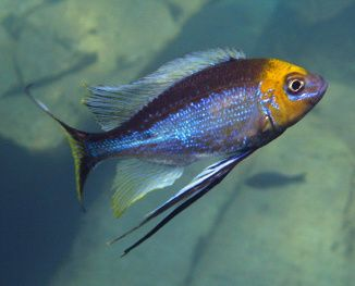 Cichlids of Lake Tanganyika - Opthalmotilapia ventralis                                                                                                                                                                                 More