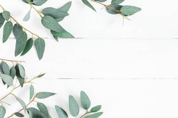 Eucalyptus Leaves On White Background Frame Made Of