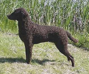 Curly-Coated Retriever:  The Curly Coated Retriever is a gentle, loving family companion and an enthusiastic, hardworking gundog.