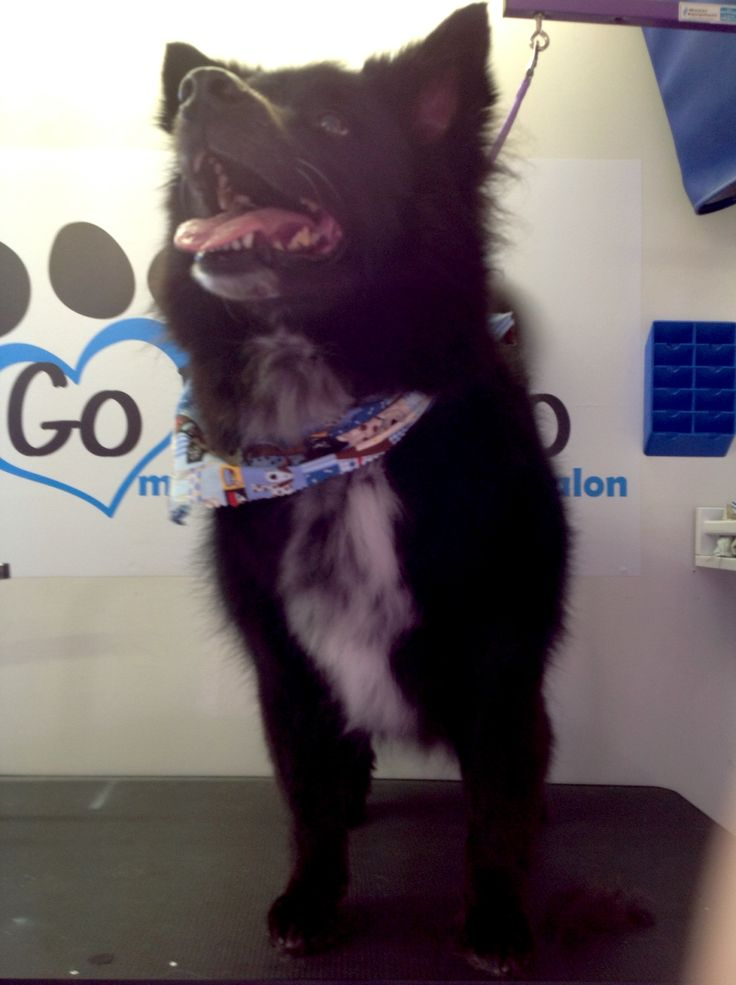 Border Collie & Chow? What do you think? Mobile pet