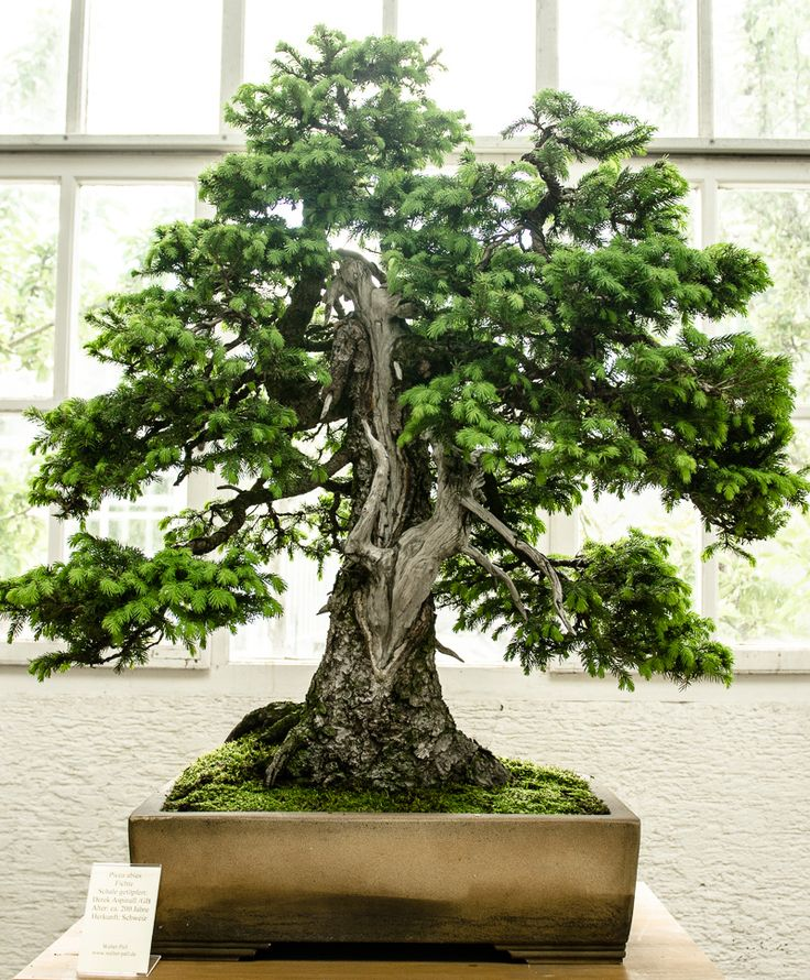 25 best ideas about bonsai baum on pinterest. Black Bedroom Furniture Sets. Home Design Ideas