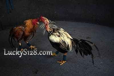 Arena Adu Ayam