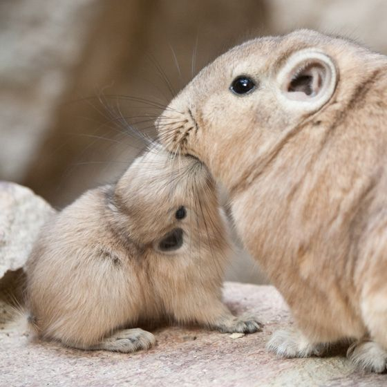 Baby Gundi | 22 Of The Cutest Animal Babies You've Never Seen Before