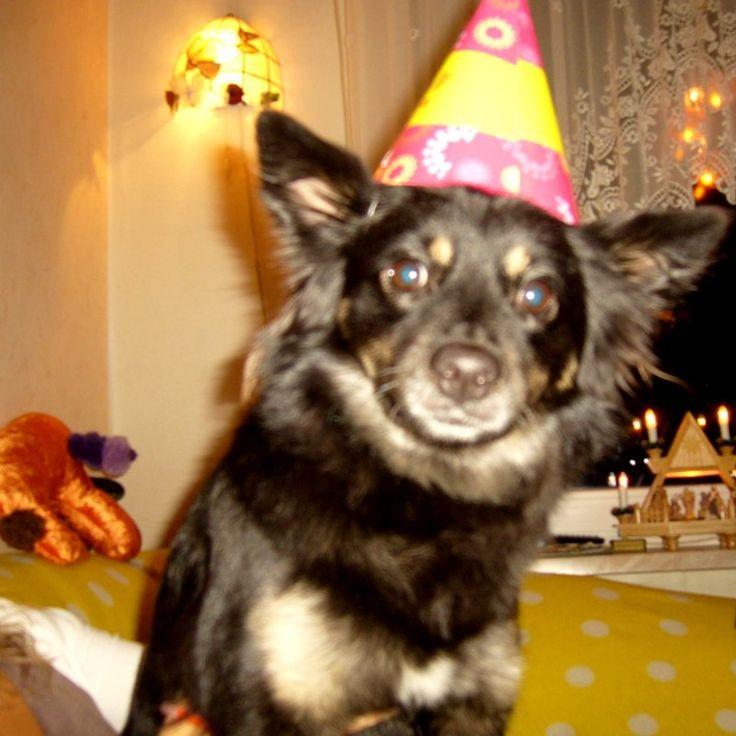 Mischling (Schäferhund/Spitz) Luna Na, ob das die richtige Verkleidung zu Helloween ist? Hundename: Luna / Rasse: Mischling (Schäferhund/Spitz)      Mehr Fotos: https://magazin.dogs-2-love.com/foto/mischling-schaferhundspitz-luna/ Foto, Hund