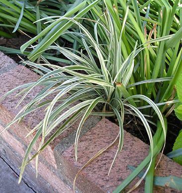 A Liríope é uma planta herbácea, perene, rizomatosa e florífera, com aspecto de grama e popularmente utilizada como forração. Sua folhagem surge em tufos c