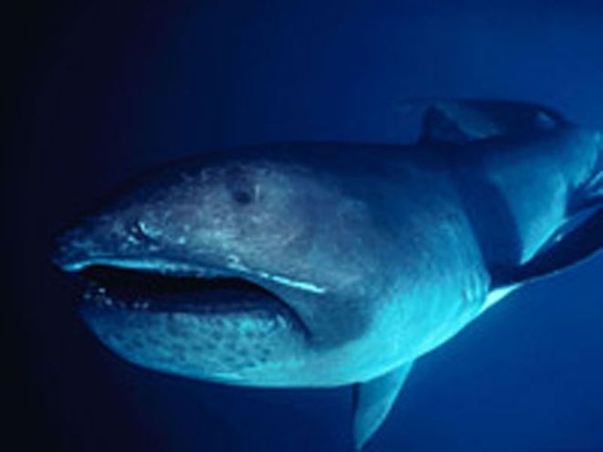 The megamouth shark, shown here, is an extremely rare species of deepwater shark. The megamouth swims with its mouth wide open, catching and sucking in fish and krill as it glides along. Its massive mouth extends past its eyes and is equipped with about 50 rows of small, sharp teeth on each jaw.
