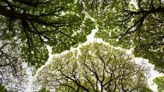 Oak tree canopy in Roudsea Wood, Cumbria, England (© Chris Mattison/Minden Pictures) April 29, 2016