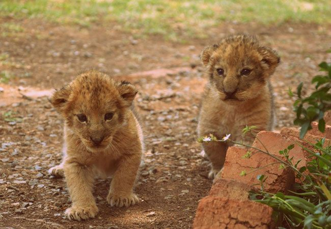 Cornerstone B&B Kroonstad - The second portion of your tour is spent playing with the animal cubs.