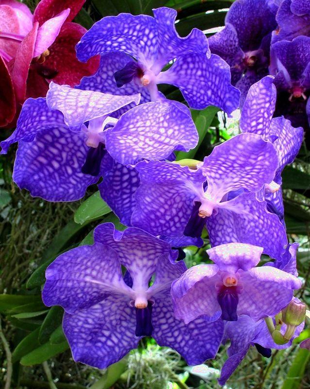 Каждая частичка земли с благодарностью приняла осколки небесного моста. Те из них, которые были пойманы деревьями, превратились в орхидеи. С этого и началось триумфальное шествие орхидей по земле. Разноцветных фонариков становилось все больше и больше, и уже ни один цветок не осмеливался оспаривать право орхидеи называться королевой цветочного царства.