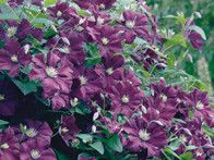 Clematis, Etoile Violette, is deciduous, small flowering, climbing clematis vine which typically grows 10 to 12 feet and features deep purple flowers with conspicuous tufts of golden stamens. Sepals are blunt tipped. Profuse summer bloom.
