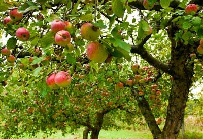 The onset of winter signals the beginning of one of gardening's most enjoyable past times: dreaming! If your dreams include starting an orchard, then now's the time to plan for it.