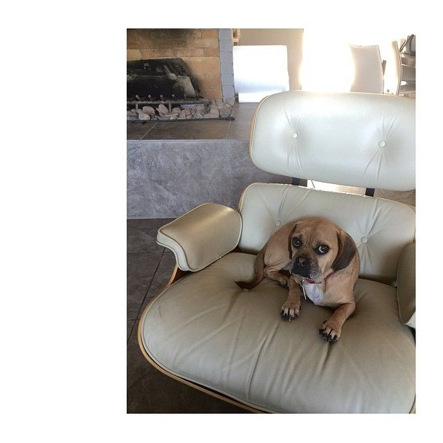 1000 images about Dogs and Eames Chairs on Pinterest