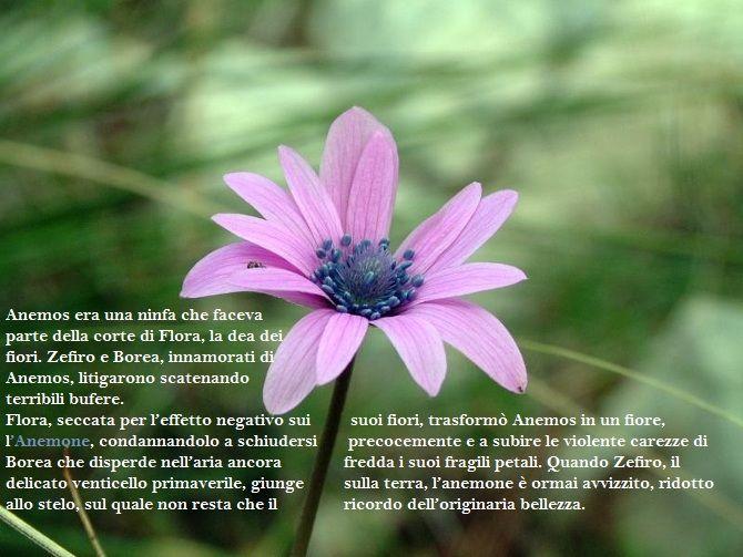 Per via della sua caducità, l'anemone simboleggia i sentimenti effimeri, il senso di abbandono, la desolazione e l'amore tradito. Ma anche la speranza e l'attesa.