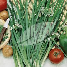 Allium tuberosum Garlic Chives Garlic Chives - 9 cm
