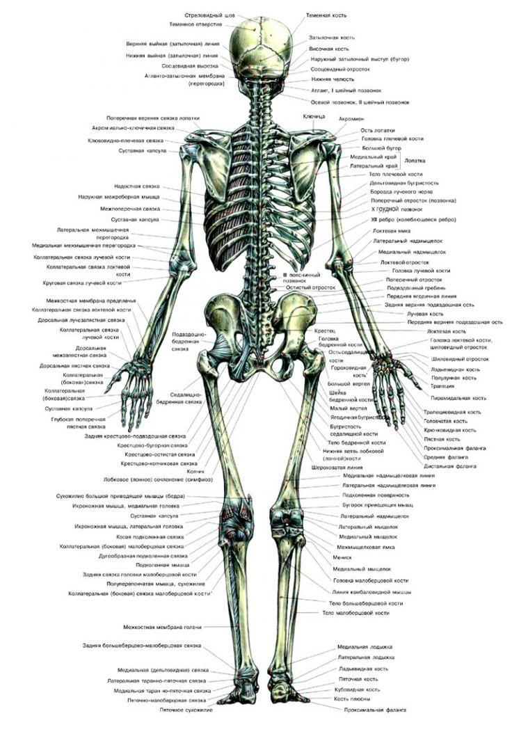 Картинки: «Скелет человека с надписями» (32 фото)