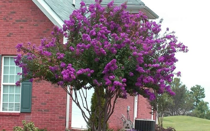 Catawba Crape Myrtle Grows In Zone 6A 183 10176 to 5176 F