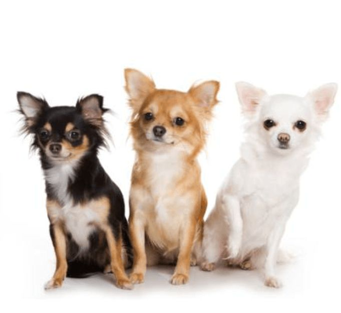 raza de perros chihuahua