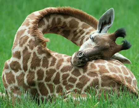 this is how baby giraffes sleep...adorable thats how! @Ashley Thibeault