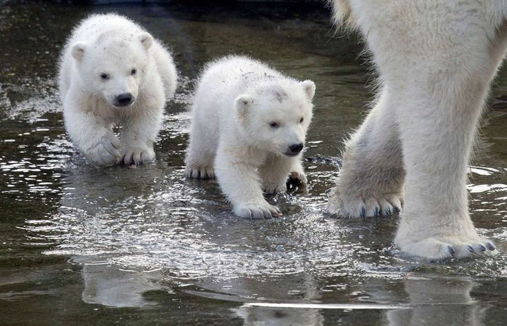 Two polar bear cubs follow their mother as they venture outside their enclosures for the first time since they were born at Ouwehands Zoo in Rhenen, Netherlands, on Thursday, February 19, 2015. Three cubs were born November 22, 2014, but one of the triplets died soon after birth. The cub's mother and grandmother live at the zoo, while their father now lives at the Yorkshire Wildlife Park in England.