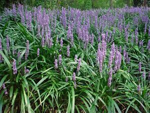 "5 Liriope muscari "" Big Blue"" The most well known variety of Liriope, Deep green foliage, lilac flower spikes, Likes Full Sun, Partial Sun and Shade Evergreen Drought Tolerant Moderate spreader. Heigh"