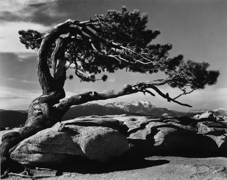 ANSEL ADAMS (1902-1984) Jeffrey Pine, Sentinel Dome, Yosemite. Silver print
