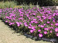 AUSSIE RAMBLER™ is a native Carpobrotus Groundcover. A prostrate creeping succulent that has long trailing stems up to 2m high