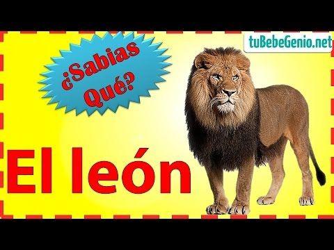 (13) EL LEON Y Sus Características Para Niños   Información De Animales Salvajes   Disertacion Del León - YouTube