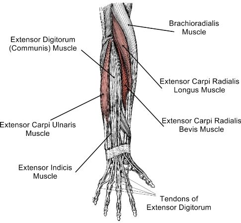 labelled drawing of forearm extensor muscles showing