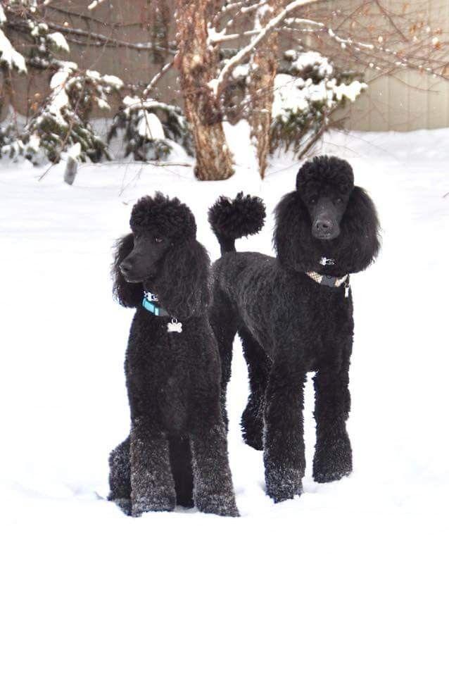 Royal Standard Poodles In The Snow Poodle Dog Poodle Puppy Dog