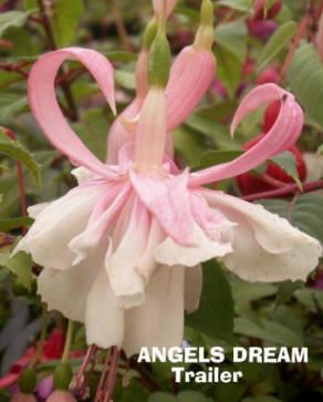 Fuchsias Angels Dream (trailer)