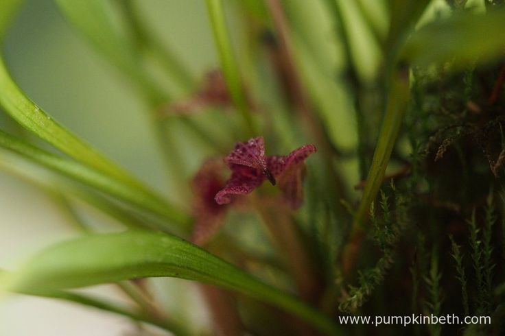 Here is a closer look at an aging Dryadella simula flower.  Pictured on the 29th…