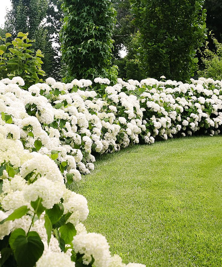 19 best flowers viburnum images on pinterest white flowers white gardens and hydrangeas. Black Bedroom Furniture Sets. Home Design Ideas
