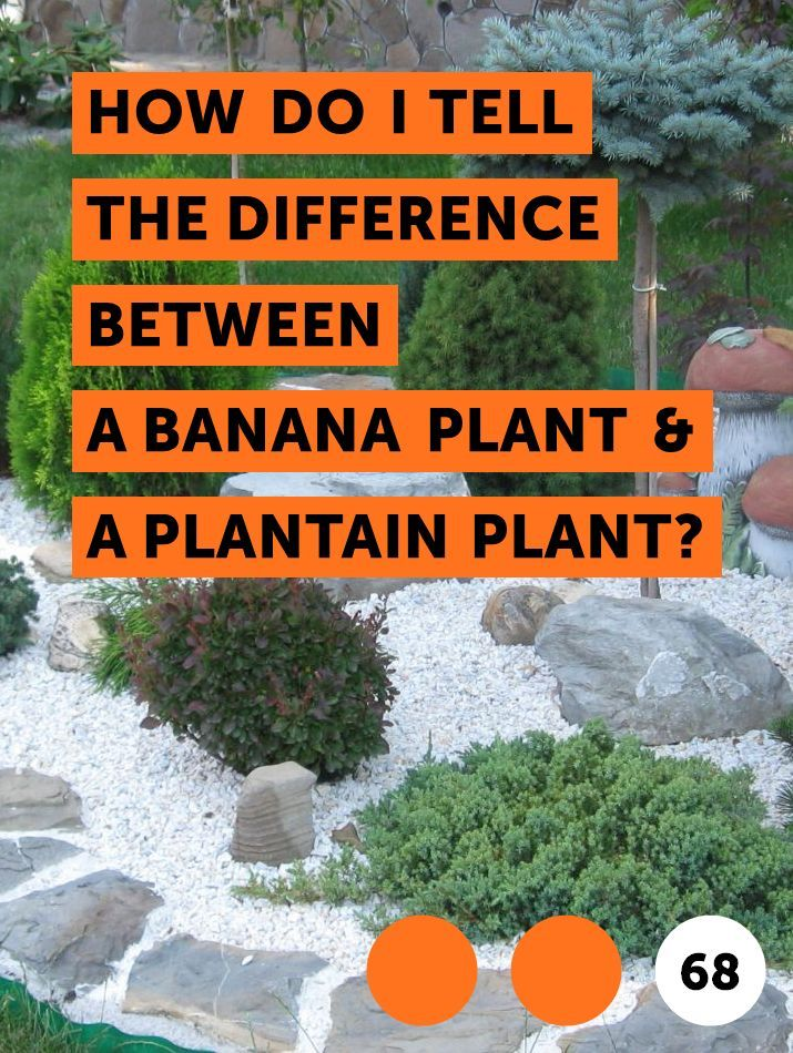 Learn How Do I Tell The Difference Between A Banana Plant A Plantain Plant How To Guides Tips And Tricks Plantain Plant Banana Plants Plants