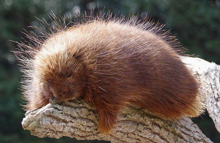 いいね!11件、コメント1件 ― なつさん(@_natsu_panda_)のInstagramアカウント: 「ルーリーちゃん。おはぎでも毬栗でもありませぬ。 #カナダヤマアラシ #porcupine #東山動植物園 #higashiyamazoo」