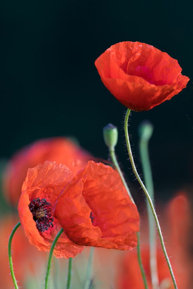 Poppies by Taras L