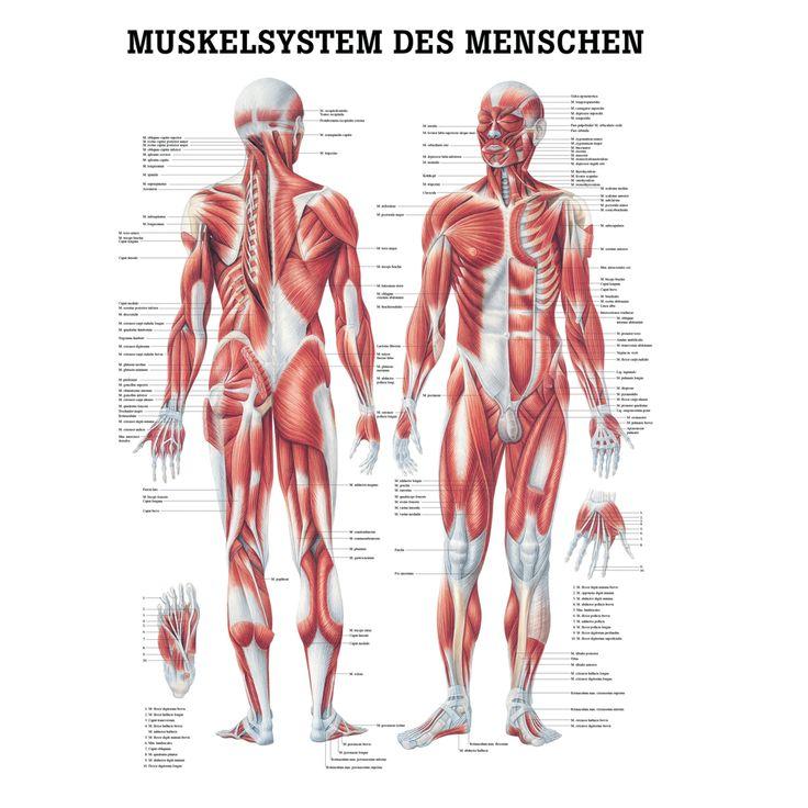 """Anatomische Lehrtafel """"Das Muskelsystem des Menschen 34 x 24"""", Wissenladen.de"""