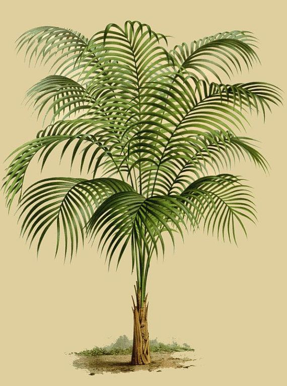 antique french botanical print palm tree illustration digital download