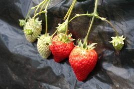 イチゴの育て方/住友化学園芸