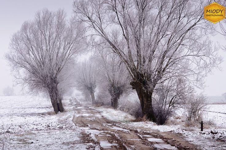 Stara droga Konarzewo-Palędzie obsadzona jest wierzbami głowiastymi.