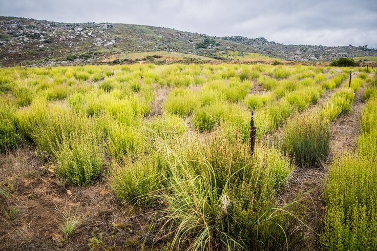 Diario di Viaggio #4: Old Village e Buchu Tea - OraZero