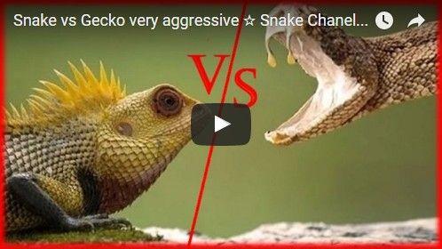 Beautifulplace4travel: Snake vs Gecko very aggressive
