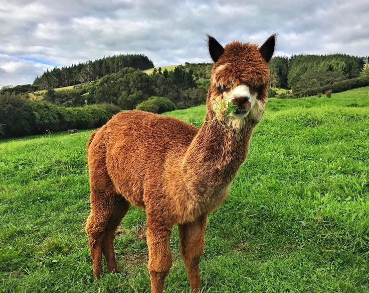 Lovely alpaca - - - #alpaca #alpacas #farmlife #animals #animal  #photooftheday #cute #instagood #animales #cute #love #nature #animallovers #pets_of_instagram #petstagram #petsagram #nz #newzealand #auckland #farm #green #sky #grass